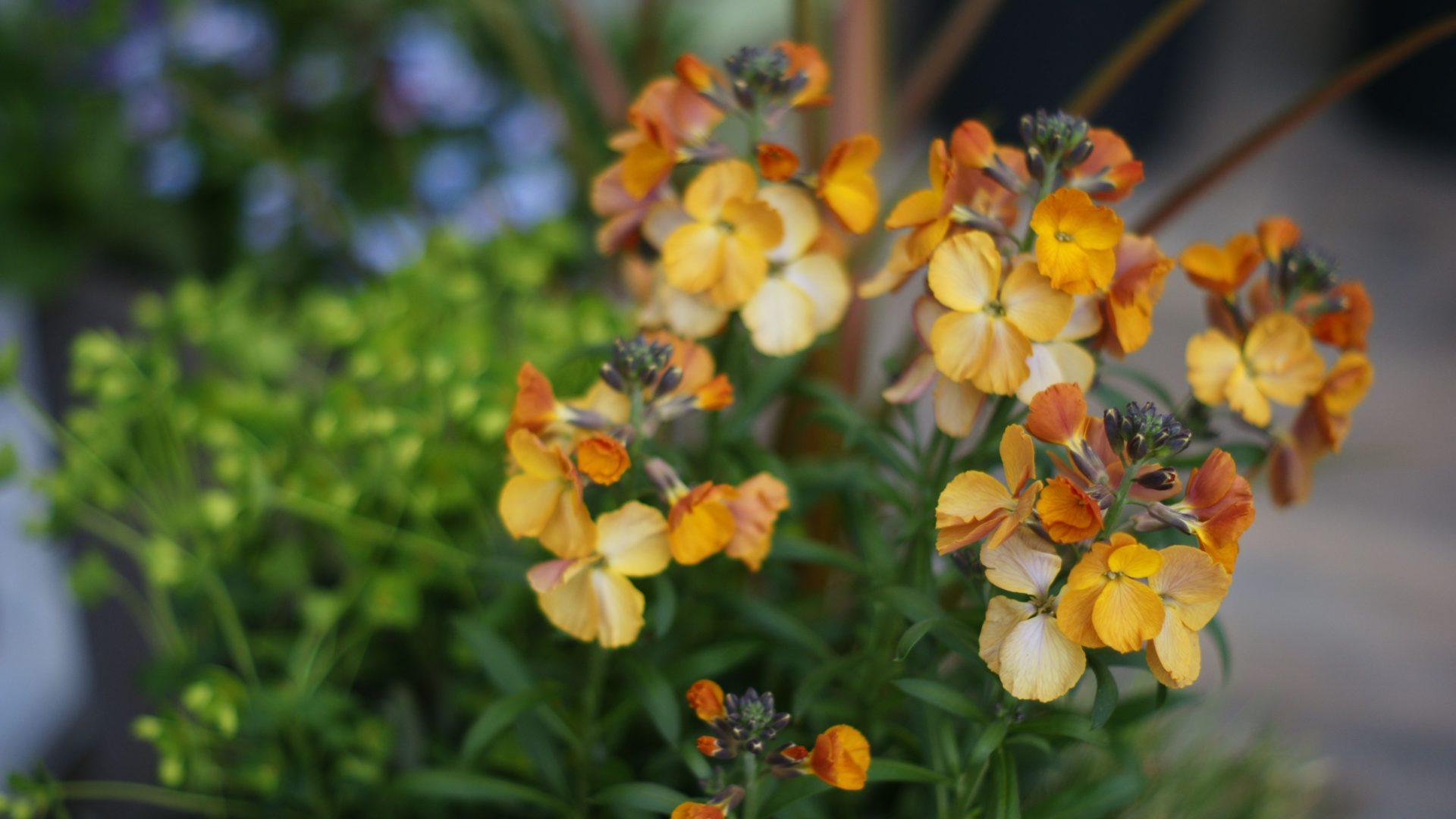 giroflee et euphorbe : réussir l'aménagement d'un petit jardin